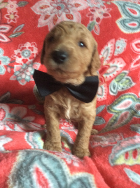 Multi Generation Goldendoodle Puppies For Sale