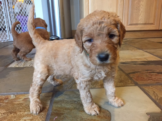 Index Of Imagesgoldendoodle Puppies Auburn Washington