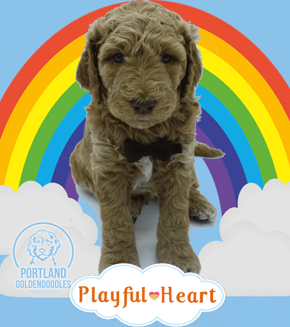 Multi-Generation Goldendoodle Puppies for Sale and Adoption