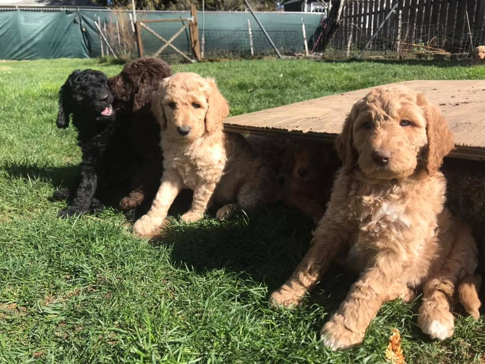 Goldendoodle Puppies In Portland Oregon For Adoption