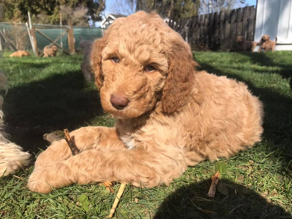 Goldendoodle Puppies in Portland, Oregon for Adoption